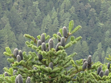 Pines above Namche Bazaar September 2015