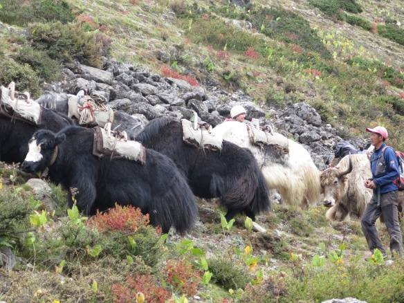 Yaks coming back from the Base Camp.