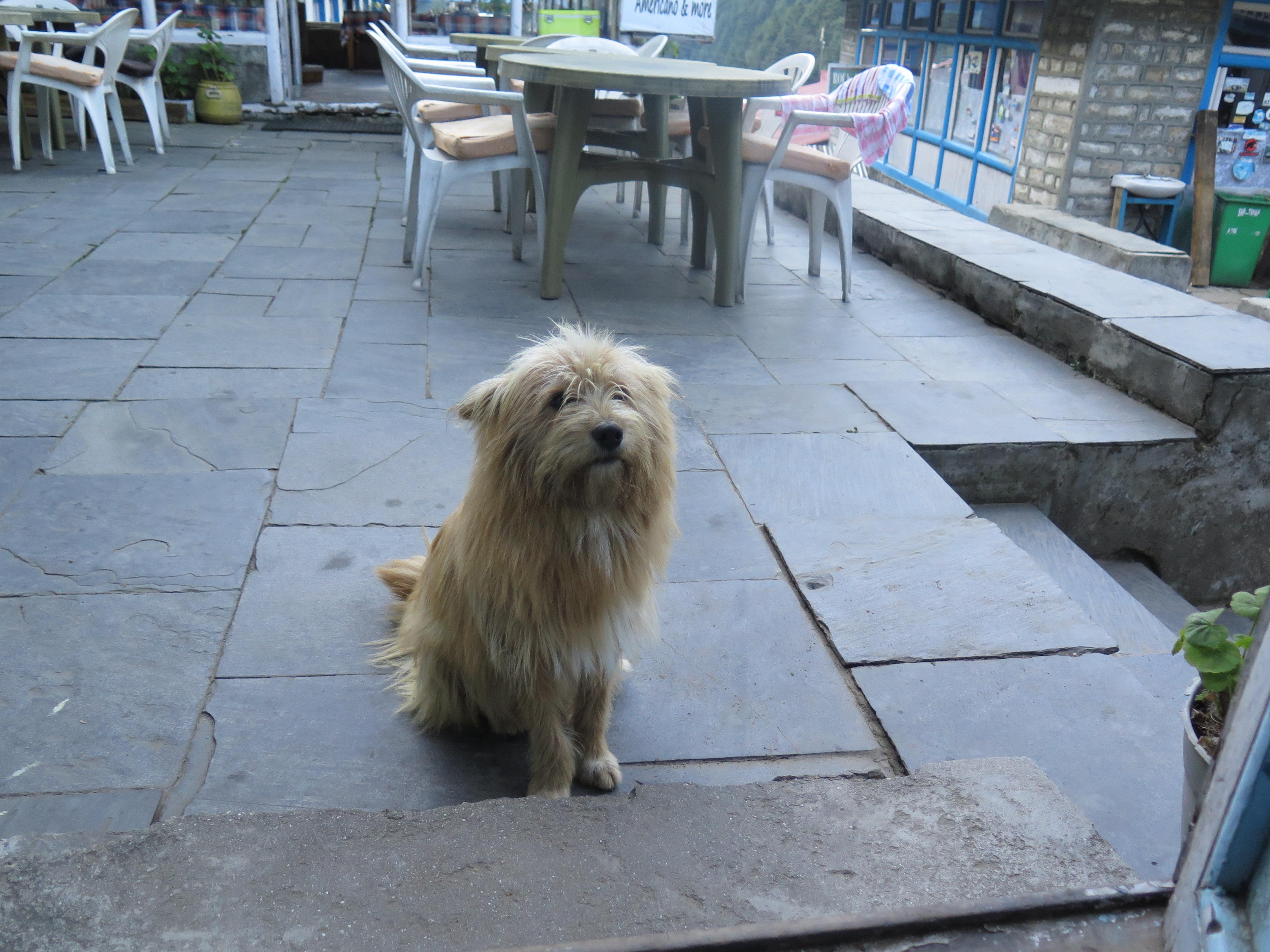 Nepalese dog