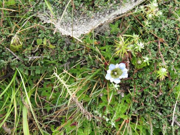 Alpine flower Solukhumbu