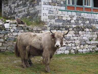Yak outside our lodge in Shomare Nepal
