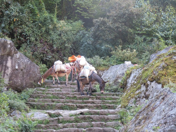 Donkeys climbing down steps on the lower part of the the EBC trail